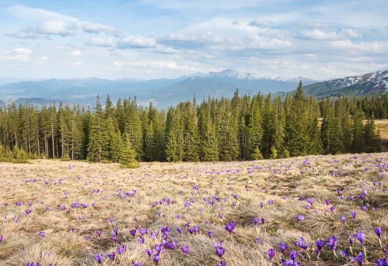 Campo de azafranes con las montañas en el fondo imagen de archivo libre de regalías