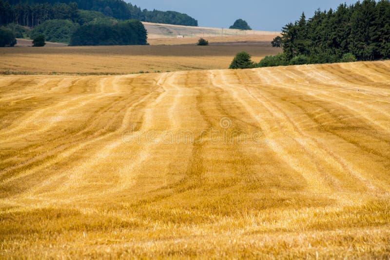 Campo de cereais no verão imagem de stock