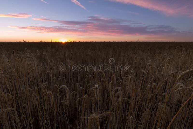 Campo de cereal do trigo pronto para colher em Palencia fotografia de stock royalty free