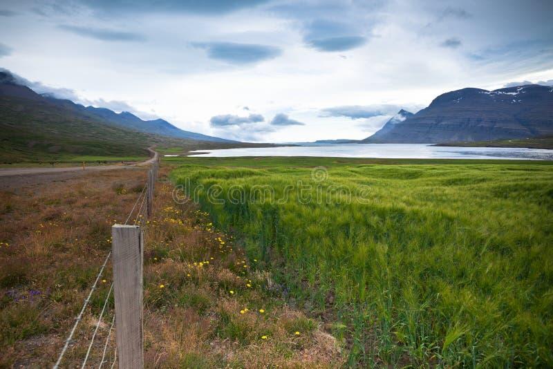 Campo de cereal verde em Islândia oriental imagens de stock royalty free