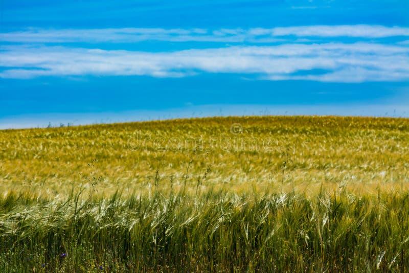 Campo de cereal y cielo azul imagen de archivo