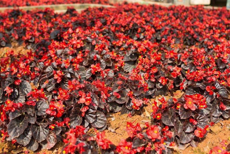Campo de Chrysanth imagens de stock