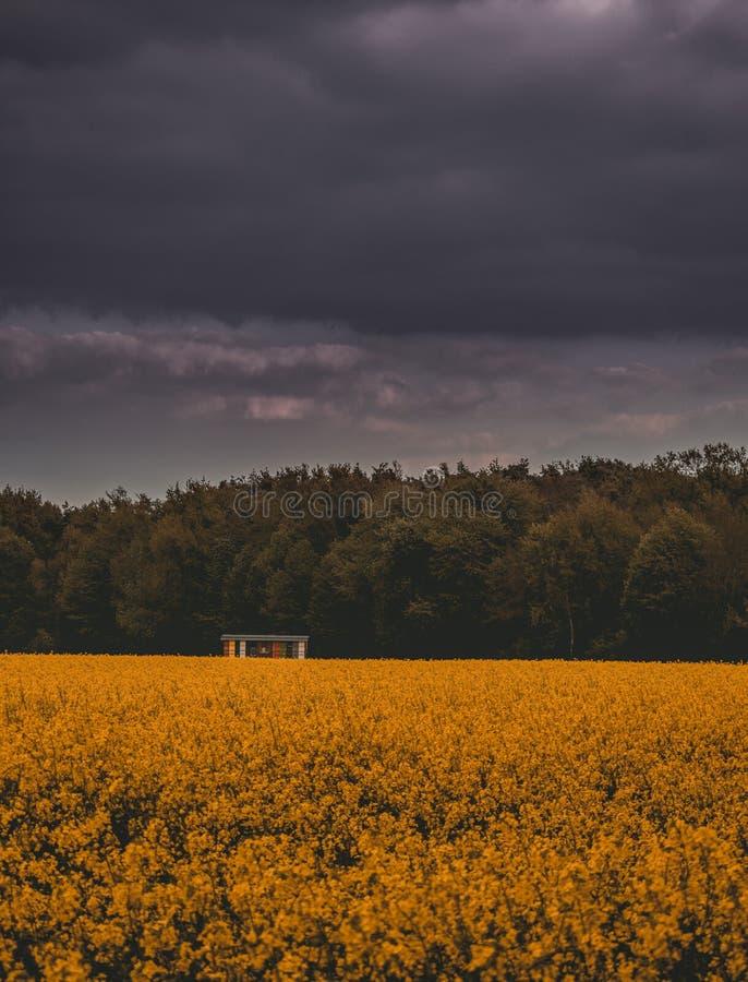 Campo de Chrysanth fotos de stock