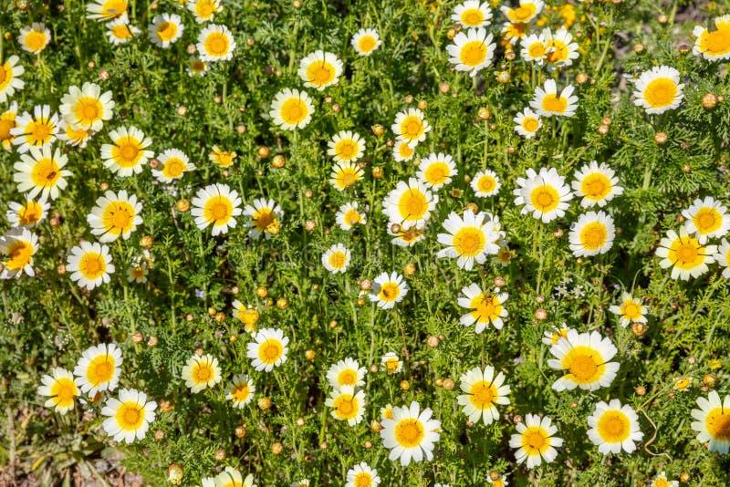 Campo de color blanco amarillo de las flores salvajes de las margaritas, fondo imagenes de archivo