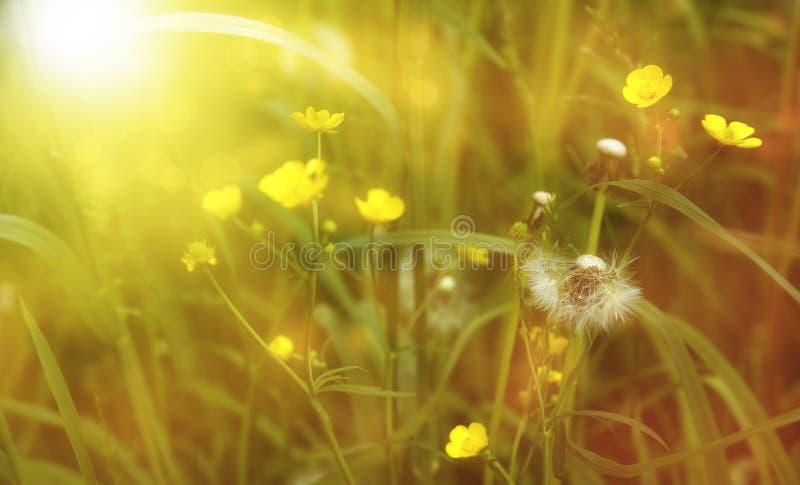 Campo de colores blancos amarillos en los rayos del sol poniente fotografía de archivo