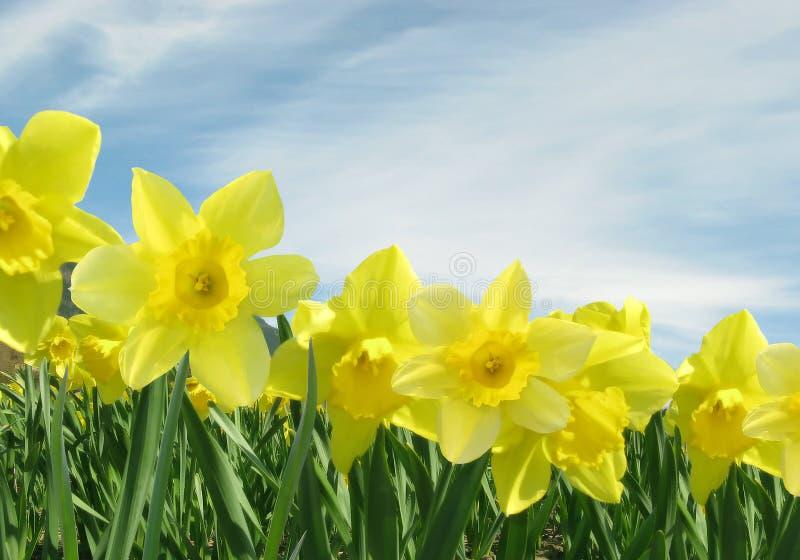 Campo de Daffodils amarelos foto de stock royalty free
