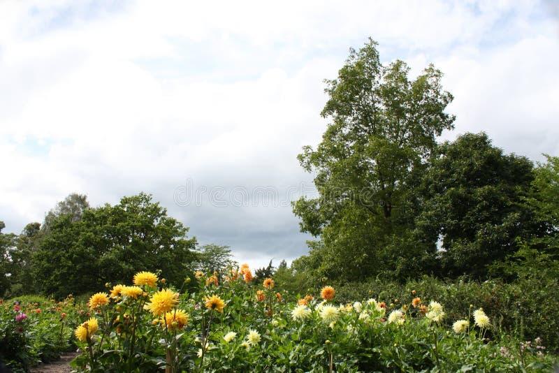 Campo de dalias florecientes en el fondo de nubes hermosas foto de archivo