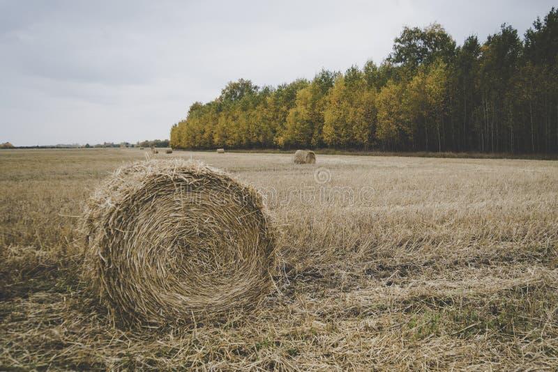 Campo de exploração agrícola com balas de feno A colheita do outono chanfrou a palha no fundo da floresta com árvores coloridas L imagens de stock