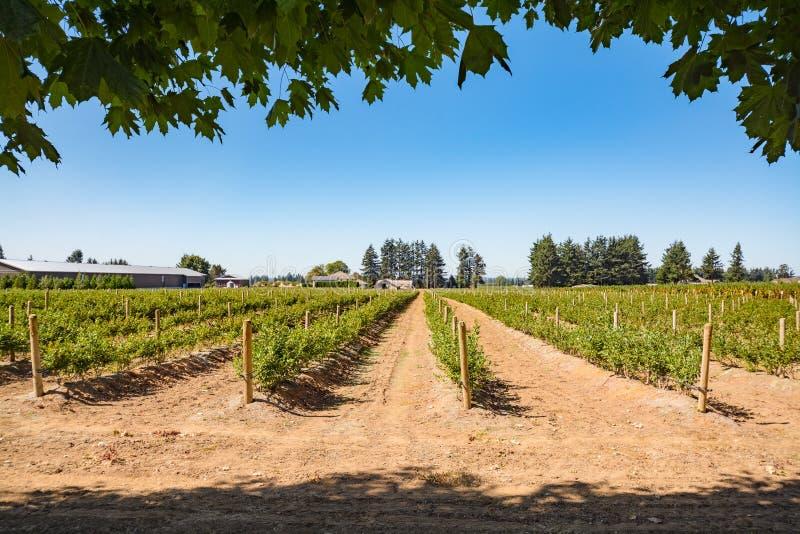 Campo de exploração agrícola com fileiras de arbustos de mirtilo no dia ensolarado no Columbia Britânica imagem de stock