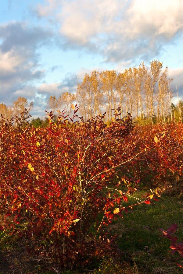 Campo de exploração agrícola do mirtilo no outono imagem de stock royalty free
