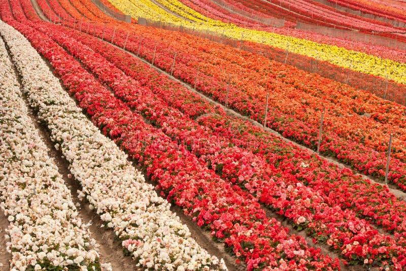 Download Campo de flor imagem de stock. Imagem de colheitas, repetição - 26515161