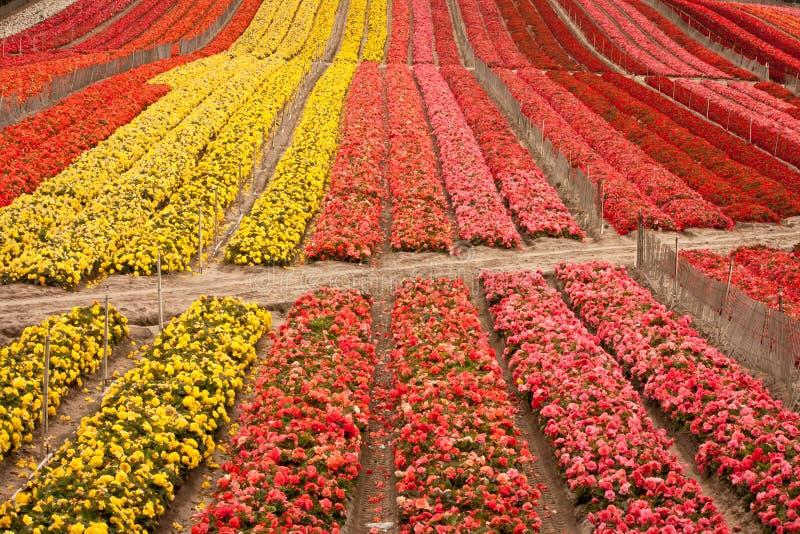 Download Campo de flor foto de stock. Imagem de repetição, alaranjado - 26515170