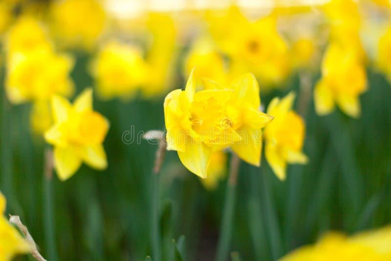 Campo de flor amarelo surpreendente dos narcisos amarelos na luz solar da manhã A imagem perfeita para o fundo da mola, paisagem  foto de stock