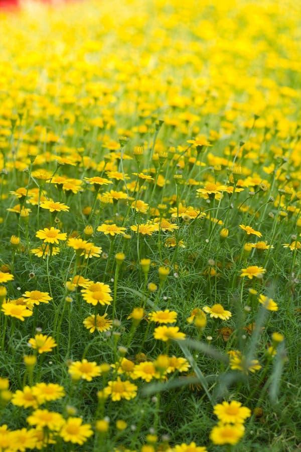 Campo de flor amarillo hermoso foto de archivo libre de regalías
