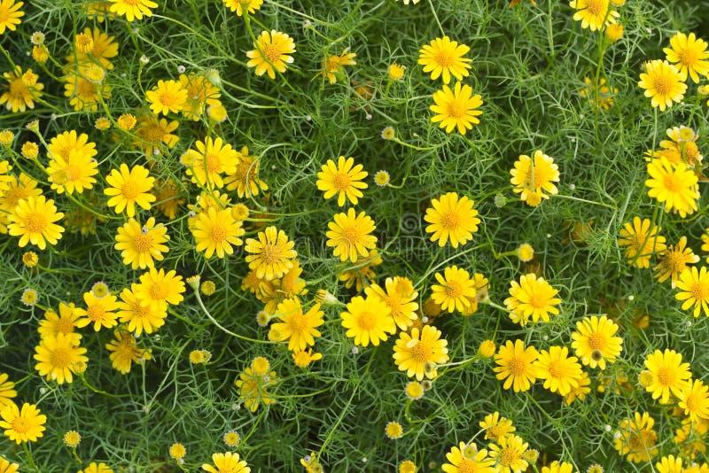 Campo de flor amarillo hermoso foto de archivo