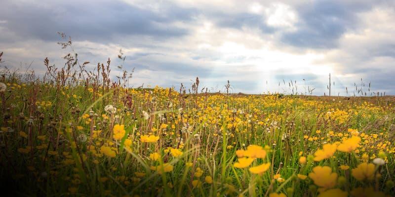 Campo de flor amarillo salvaje con salida del sol y el rayo de sol hermosos imágenes de archivo libres de regalías