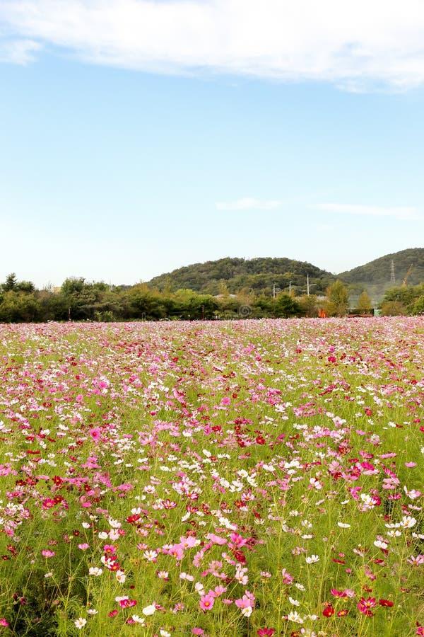 Campo de flor colorido del cosmos imagen de archivo libre de regalías
