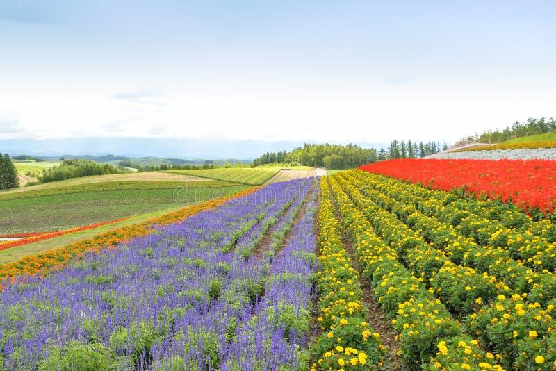 Campo de flor colorido en Hokkaido, Japón imagen de archivo libre de regalías