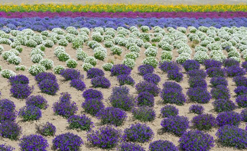 Campo de flor colorido en verano en Hokkaido Japón imagen de archivo libre de regalías