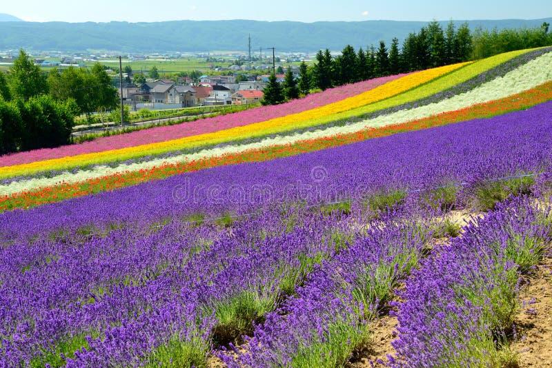 Campo de flor colorido, Hokkaido, Japón imagen de archivo libre de regalías