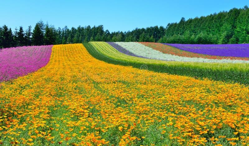 Campo de flor colorido, Hokkaido, Japón foto de archivo