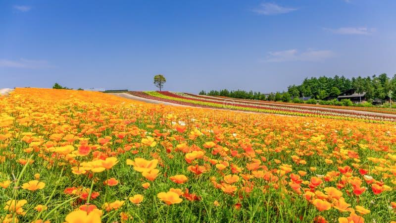 Campo de flor colorido panorámico en verano, Hokkaido Japón imagen de archivo libre de regalías