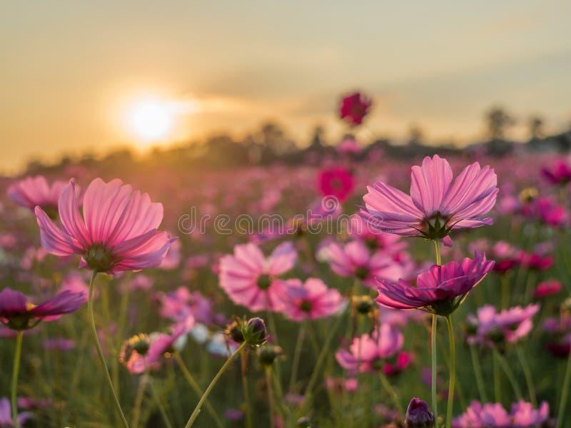 Campo de flor cor-de-rosa e vermelho do cosmos no nascer do sol da manhã Foc macio imagens de stock royalty free