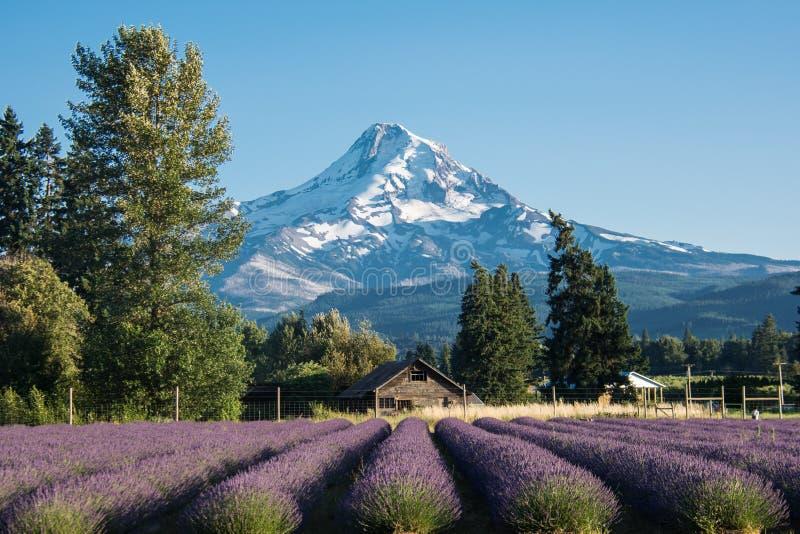 Campo de flor da alfazema perto do Mt Capa em Oregon, com um celeiro abandonado fotos de stock royalty free