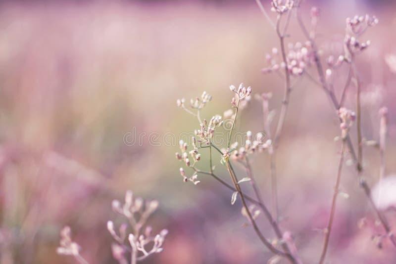 Campo de flor da grama da mola no fundo brandamente roxo e cor-de-rosa fotos de stock