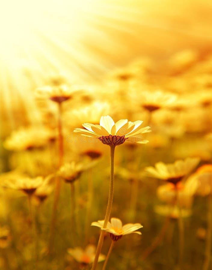 Campo de flor da margarida sobre o por do sol fotografia de stock