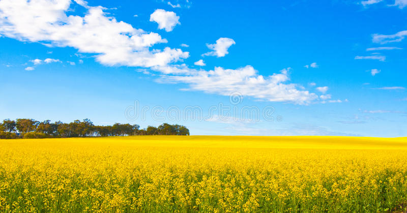 Campo de flor de Canola imagens de stock