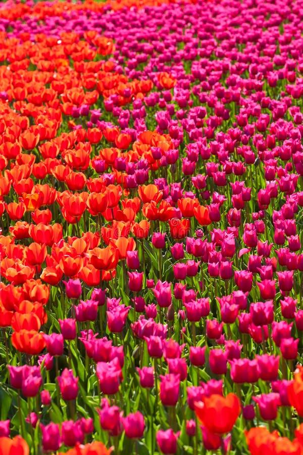 Campo de flor vermelho e cor-de-rosa da tulipa imagem de stock