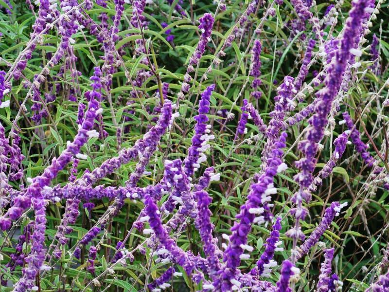 Campo de flor de la lavanda, wildflower aromático púrpura fresco imagen de archivo