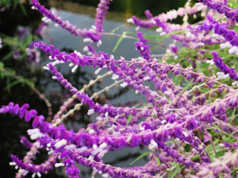 Campo de flor de la lavanda, wildflower aromático púrpura fresco fotografía de archivo libre de regalías
