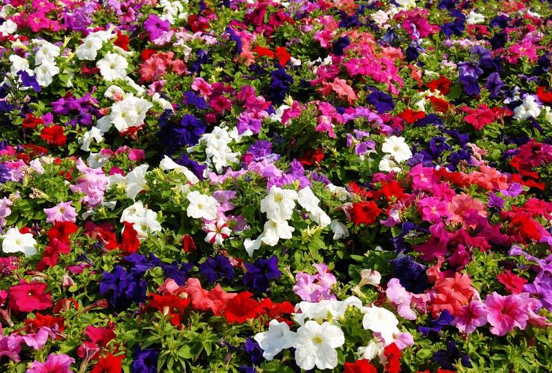 Campo de flor de la petunia imágenes de archivo libres de regalías
