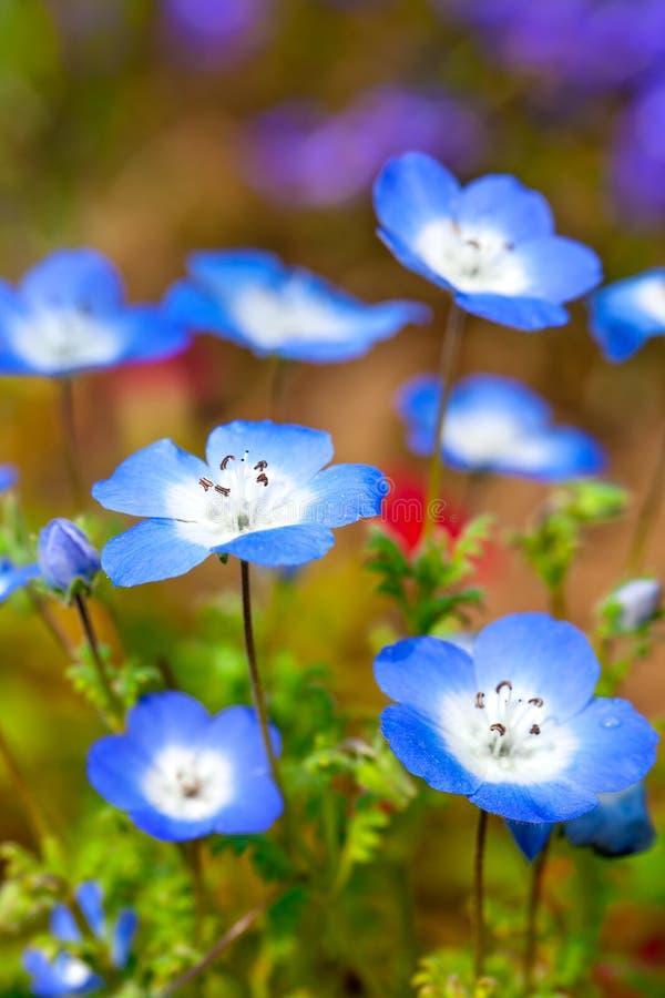 Campo de flor de Nemophila fotos de archivo