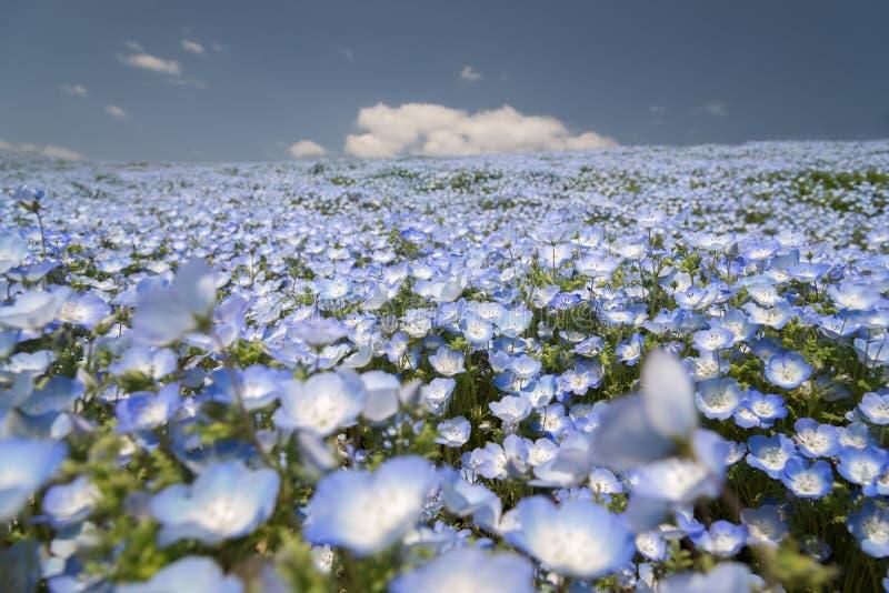 Campo de flor de Nemophila foto de archivo libre de regalías