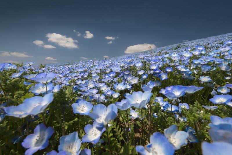 Campo de flor de Nemophila imagen de archivo libre de regalías