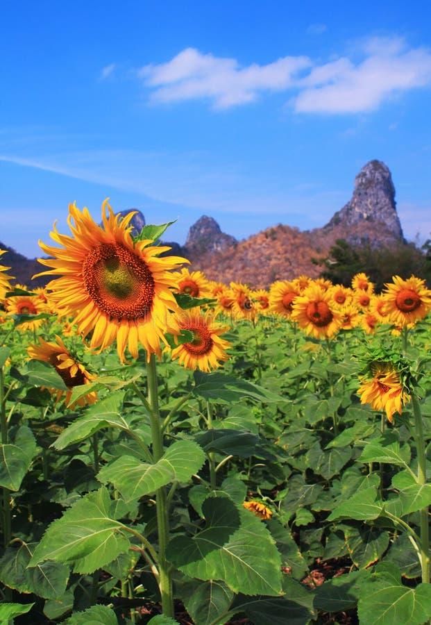 Campo de flor de Sun fotografia de stock