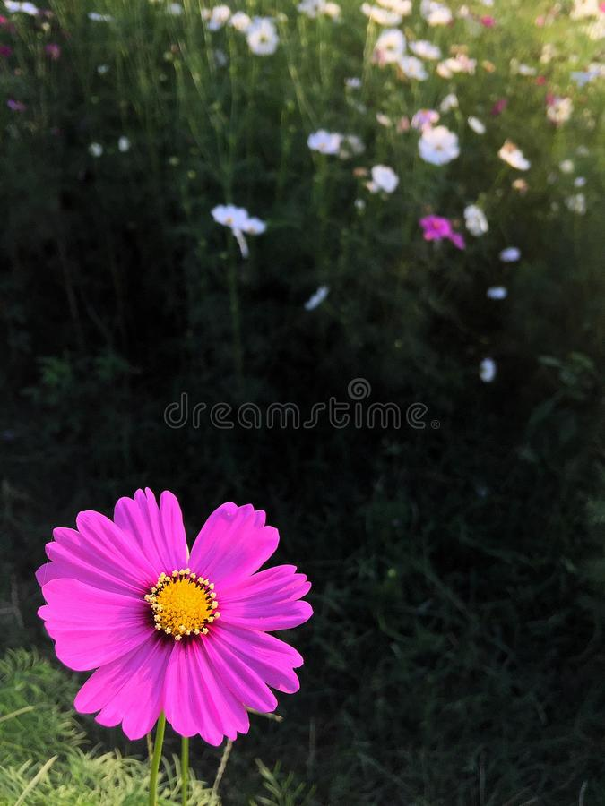 campo de flor del cosmos imágenes de archivo libres de regalías