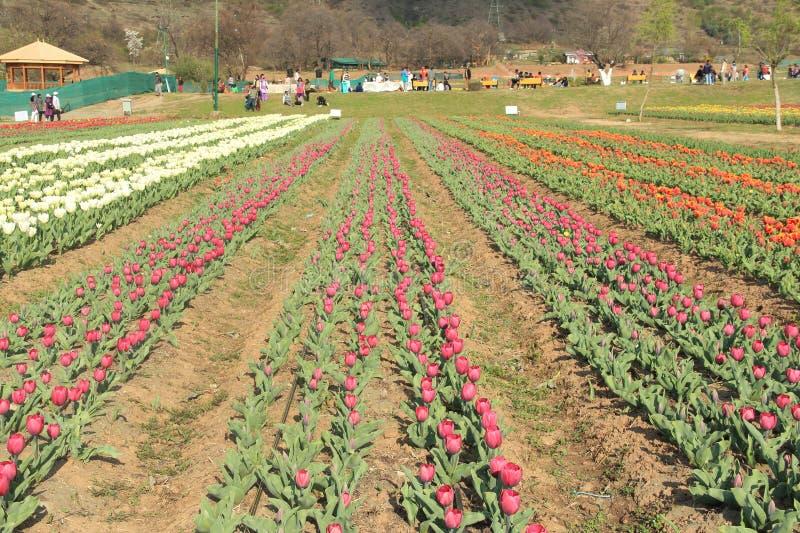 Campo de flor del tulipán. fotografía de archivo libre de regalías