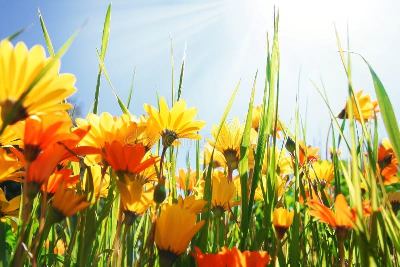 Campo de flor del verano foto de archivo libre de regalías