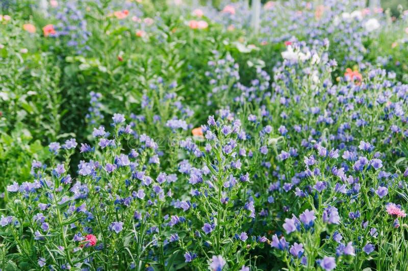 Campo de flor del vulgare del Echium imagen de archivo libre de regalías