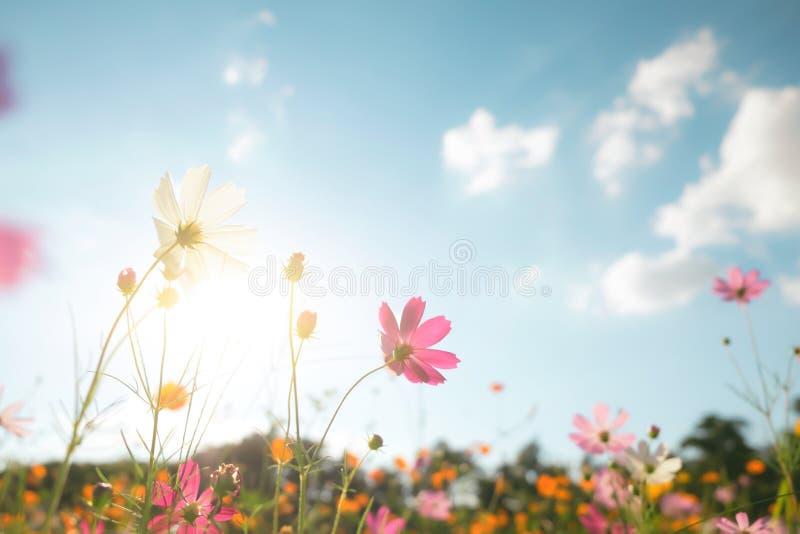 Campo de flor do cosmos do filtro de cor do vintage fotografia de stock