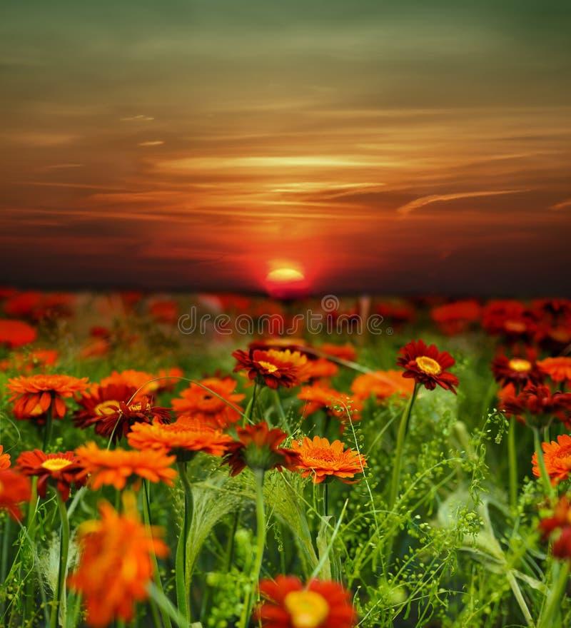 Campo de flor do por do sol imagens de stock royalty free