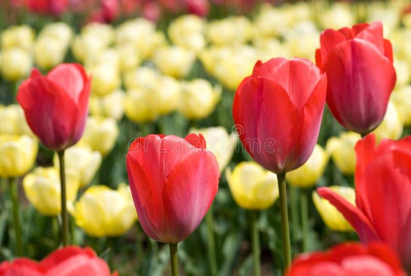Campo de flor do Tulip foto de stock