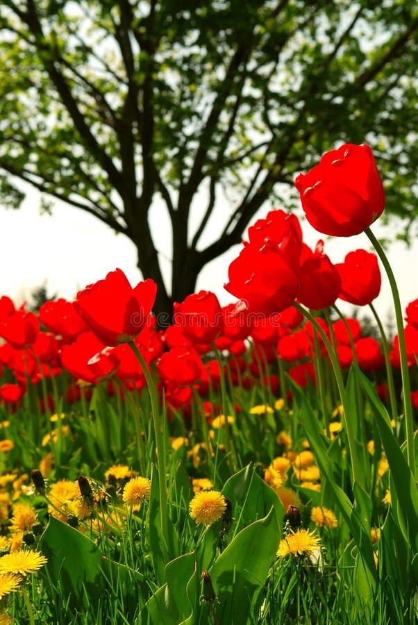 Campo de flor do Tulip fotografia de stock royalty free