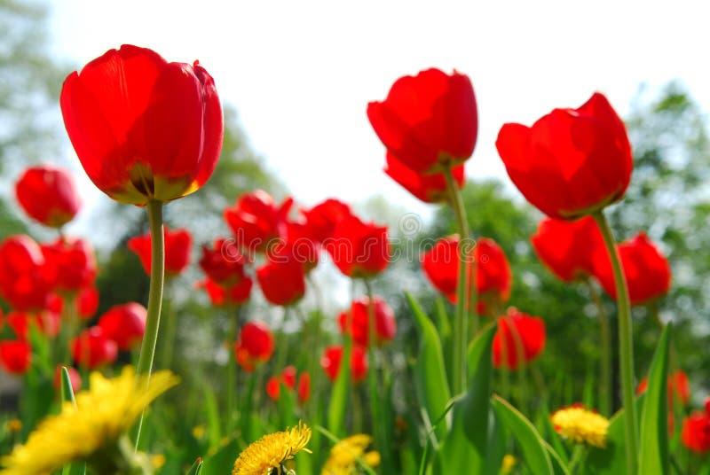 Campo de flor do Tulip imagens de stock royalty free