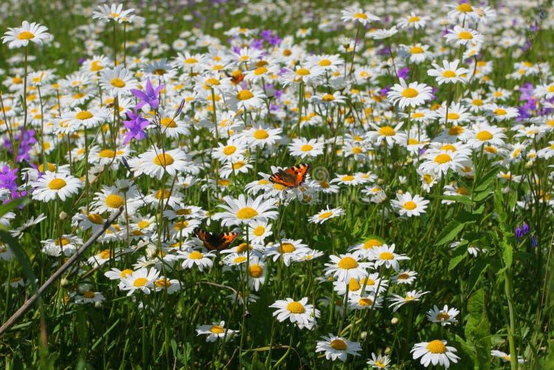 Campo de flor do verão imagem de stock royalty free