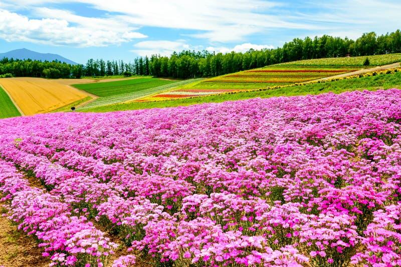 Campo de flor en el parque de Shikisai, Japón imagen de archivo